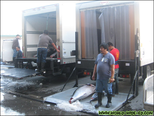 Refrigerated delivery trucks receive the fish that was just purchased [Photo Credit: Arthur Betts]