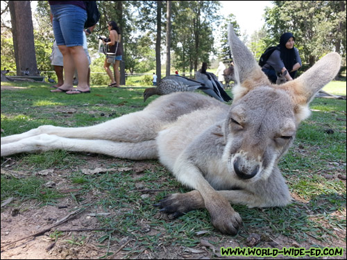 Cute baby kangaroo just lounges around next to me