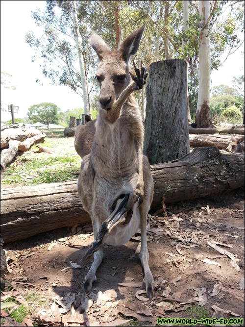 This was quite an interesting scene. It appeared to be a baby kangaroo resting in his mommy's pouch