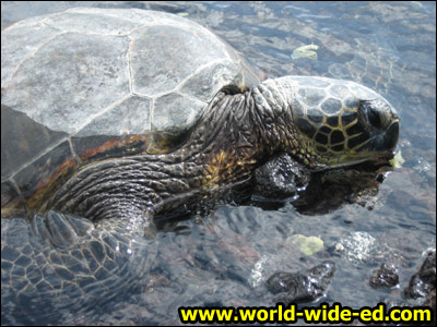 Endangered sea turtle