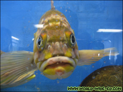 Face to face with a fish at the Sheldon Jackson College Hatchery and Aquarium