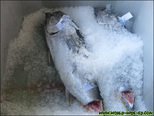 Fish kept under ice in delivery bins [Photo Credit: Arthur Betts]