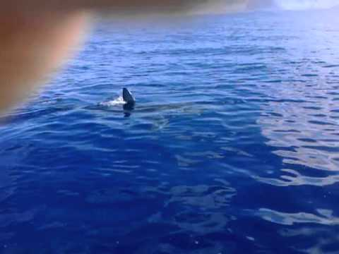 Great White Shark in Hawaii off Waianae Kaena point Makaha Hawaii – Dominick Gaballo
